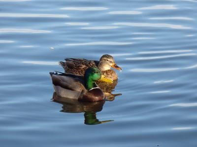 Mallard Duck Couple Swimming