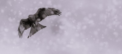 Red kite tames a Blizzard!
