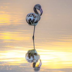 Young flamingo at sunset, Cagliari, Sardinia