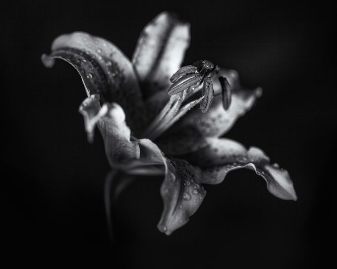 Lily by Jellyfire - Textures In Black And White Photo Contest