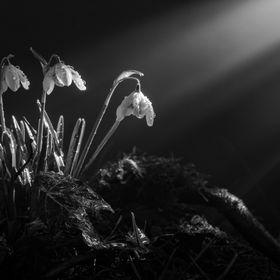 Snowdrops reaching for the light