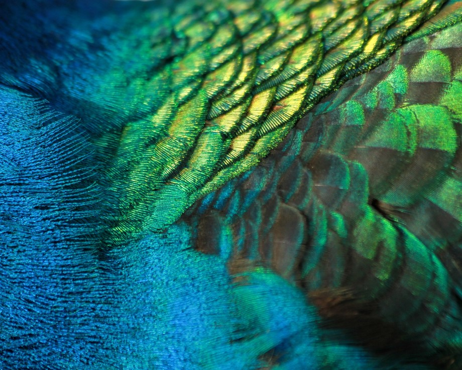 The body of a peacock in all its color