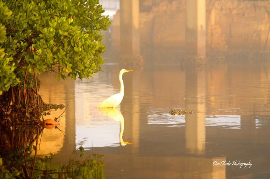 Watermarked Egret