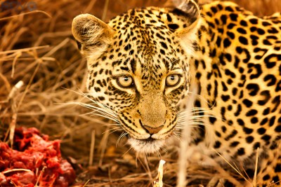 Dining  Leopard