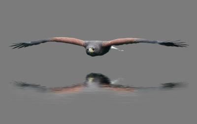 Harris hawk (under the radar)