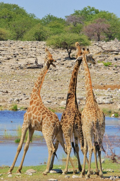 Giraffe - African Wildlife - Looking to the Heavens above