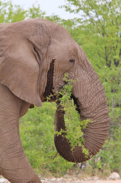 African Elephant - Chewing Thorns