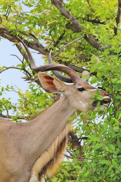 Kudu Bull - Eating Hunger Away
