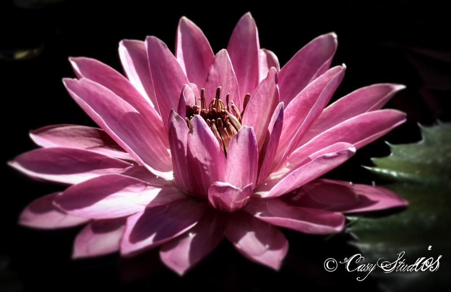Pinhole Pink Lilly 1
