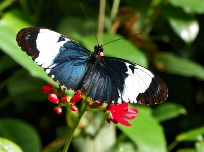 Black & White Helicon Butterfly
