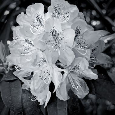 Flower in Black & White
