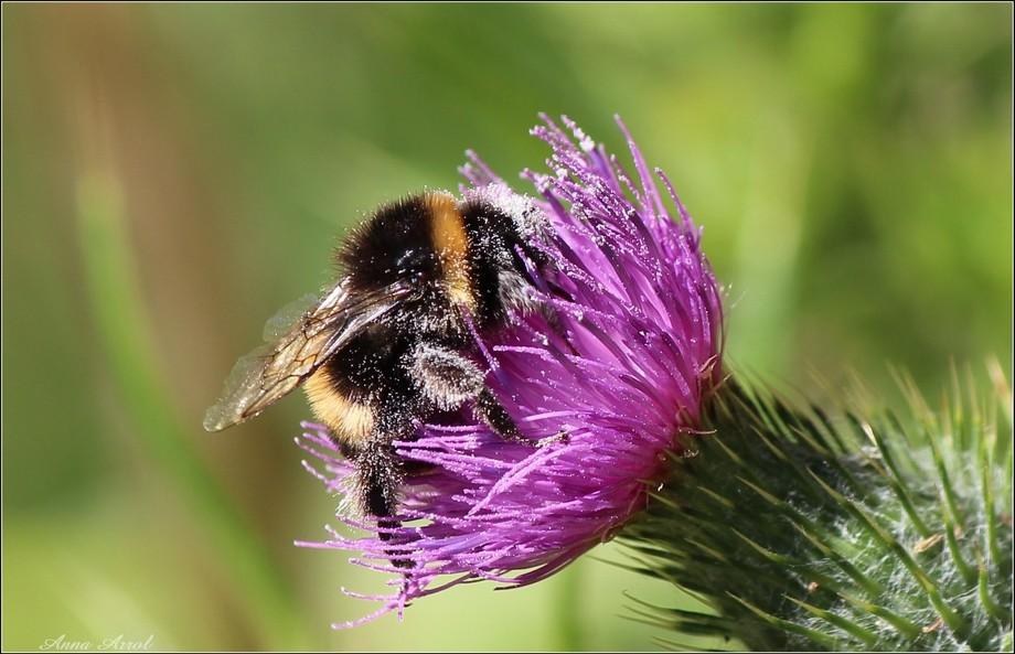 Bumble Pollen