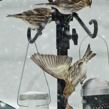 Two pine siskins squabbling while two more look on.