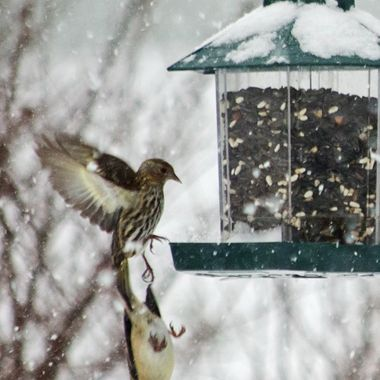 A pine siskin and a goldfinch in a near collision at the bird feeder.