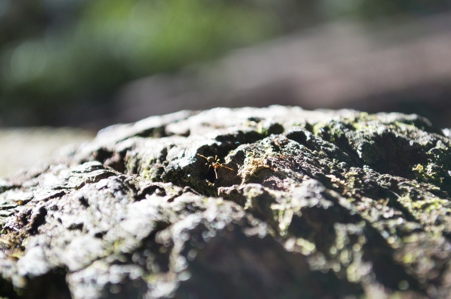 A determined ant makes his way along an ancient and massive tree branch.
