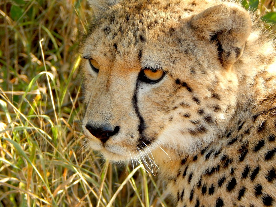 Close up of a Subadult Cheetah Male, around 8 months of age in the bright (but still low) mid-mor...