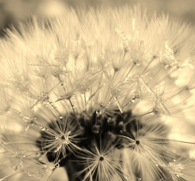 Frost Crystals on a Dandelion