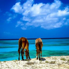 Wild horses eating greens on the beach in Grand Turk, Turks and Caicos