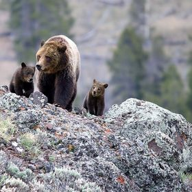 A mother grizzly and her two cubs grazing in the Lamar Valley in Yellowstone National Park
