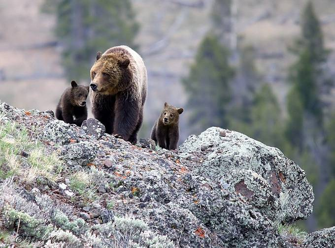 Traveling with Mom by terryc - Bears Photo Contest