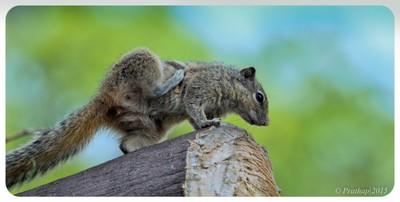Indian Palm Squirrel !!