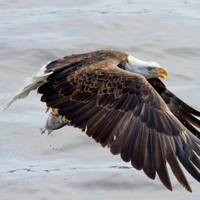 A Bald Eagle snatches a fish from the Mississippi River.
