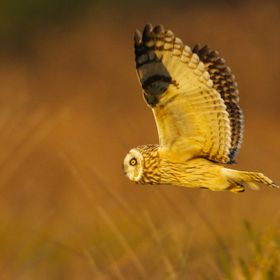 A Short-eared Owl at sunset in Arcata Bottoms
