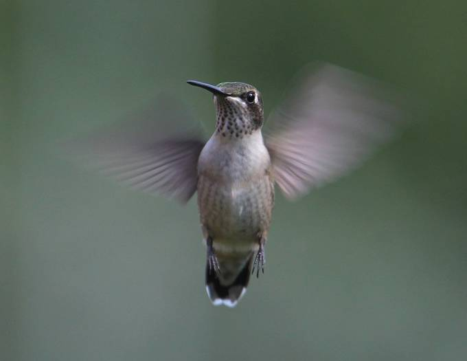 Ruby Throated Hummingbird by scrum8 - Show Movement Photo Contest