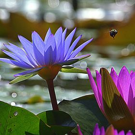 This shot was taken in Murrells Inlet South Carolina USA. I was photographing the beautiful water lilies when I saw this very busy bee. I couldn'...