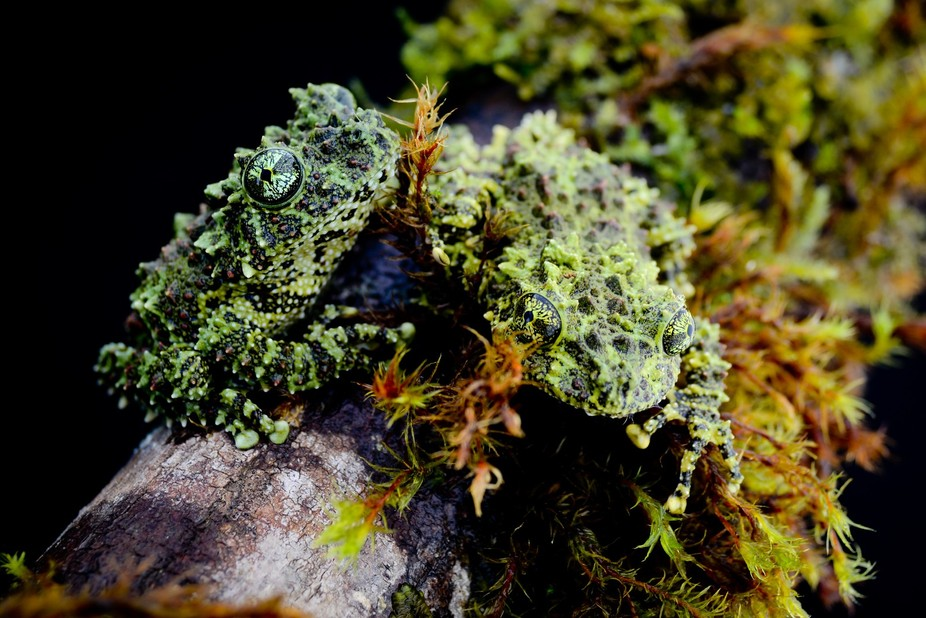 Vietnamese mossy frogs (Theloderma corticale)