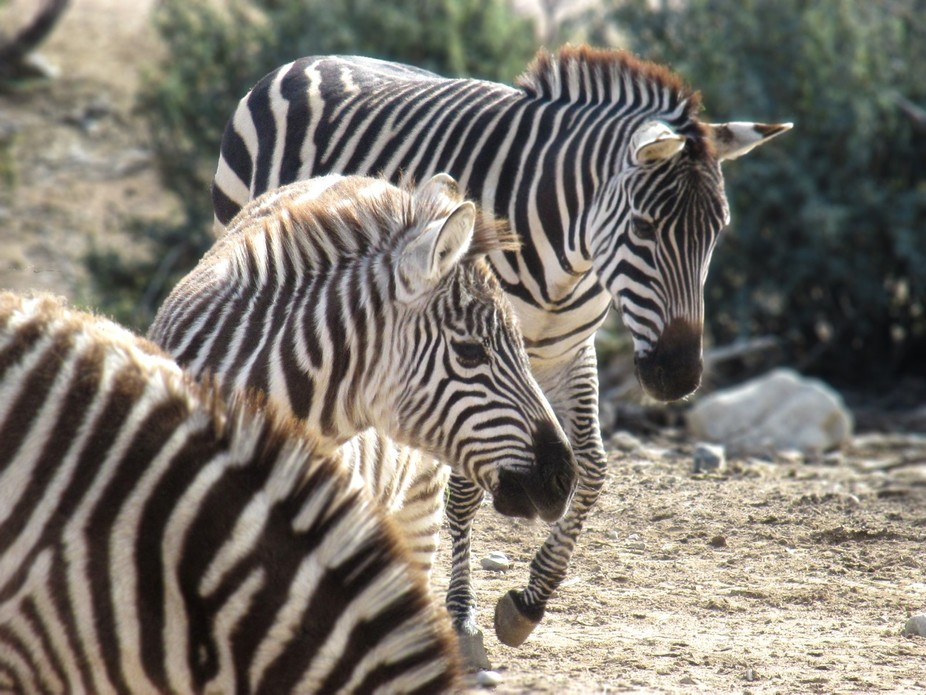 My favorite African animal, the zebra.   Cannon ELPH135