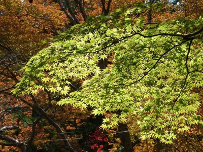 Green maple among the autumn leaves