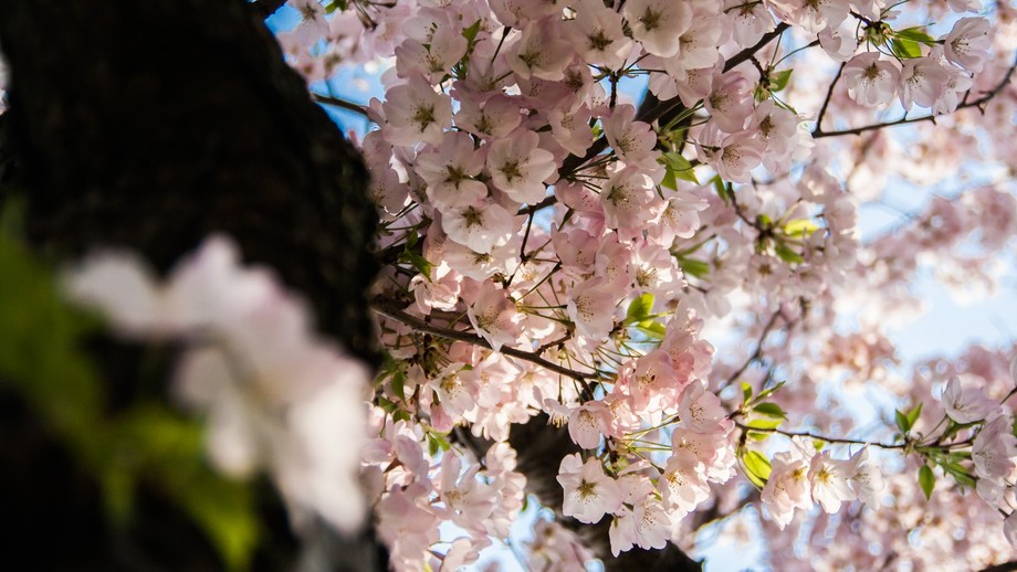 A bokeh shot of cherry blossoms in bloom.