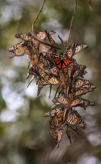 Monarch butterflies cluster
