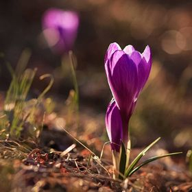 Captured this crocus last Spring.  Looking forward to seeing this sign of Spring again soon.