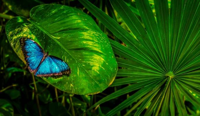 Blue Morpho Butterfly by olesteffensen - Beautiful Butterflies Photo Contest