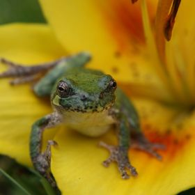 Tree frog sitting on a lily.