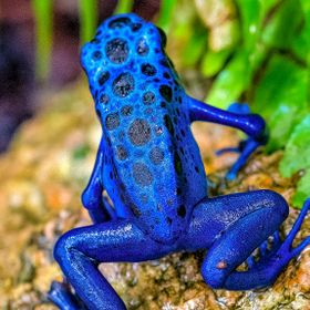 Poisonous frog found is certain areas of South America