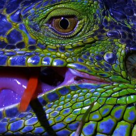 Up close and personal ~ Meet Mr. Blue Iguana......:)B