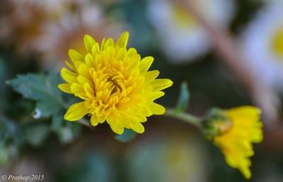 Chrysanthemum !!