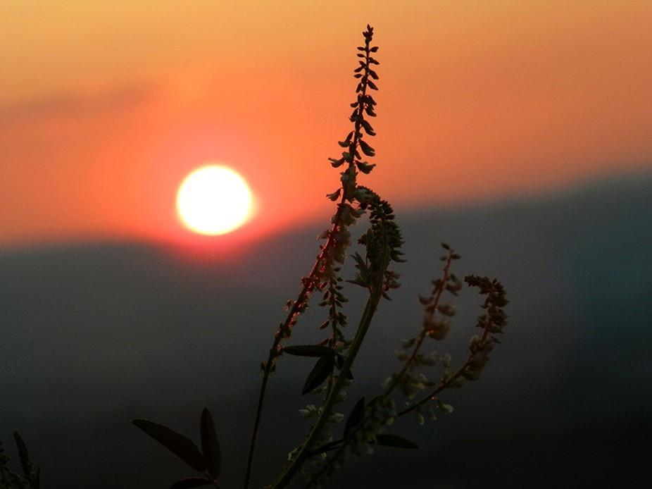 Wild Salvia growing along the escarpment edge facing the setting sun.