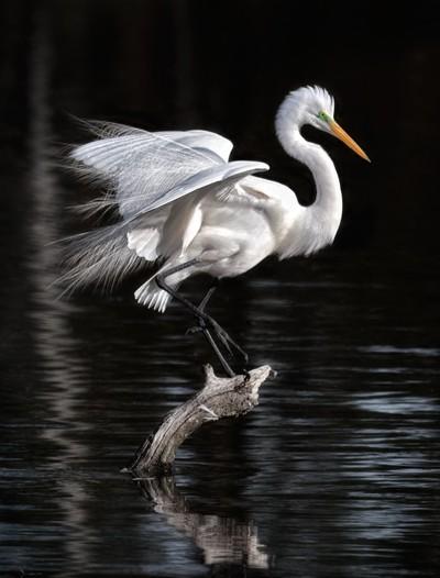 Showy Egret