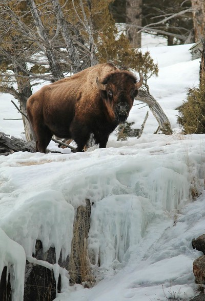 Bison on Ice