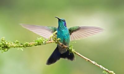 Green Violet-Ear Hummingbird - Costa Rica