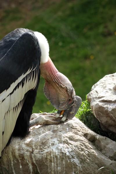 Andean Condor Perched on a Rock