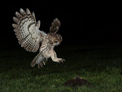 Wild Tawny Owl Hunting Mole At Night