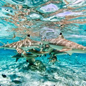 We were diving with blacktip reef sharks in Bora Bora on our honeymoon.  Was trying out a new housing I had constructed for my Sony SLT A65... I ...