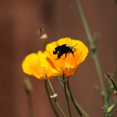 For about two weeks in Seattle this is a common site - bumble bees flying from one California Poppy to another and other flowers. It seemed photoworthy.