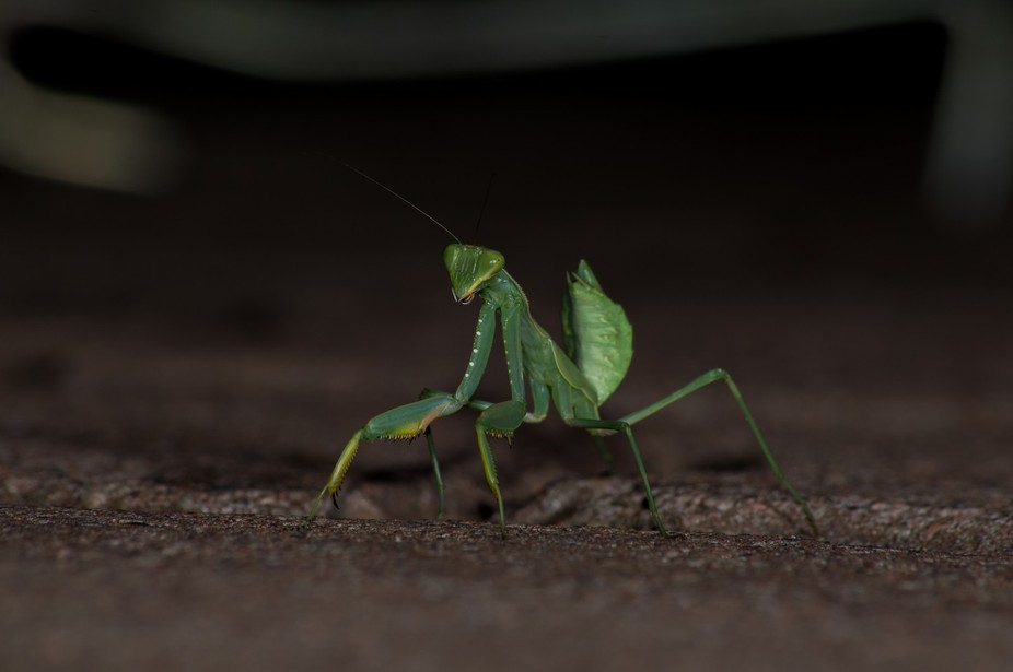 i was busy preparing dinner at a camp sight in south Africa and this beautiful preying mantis cam...