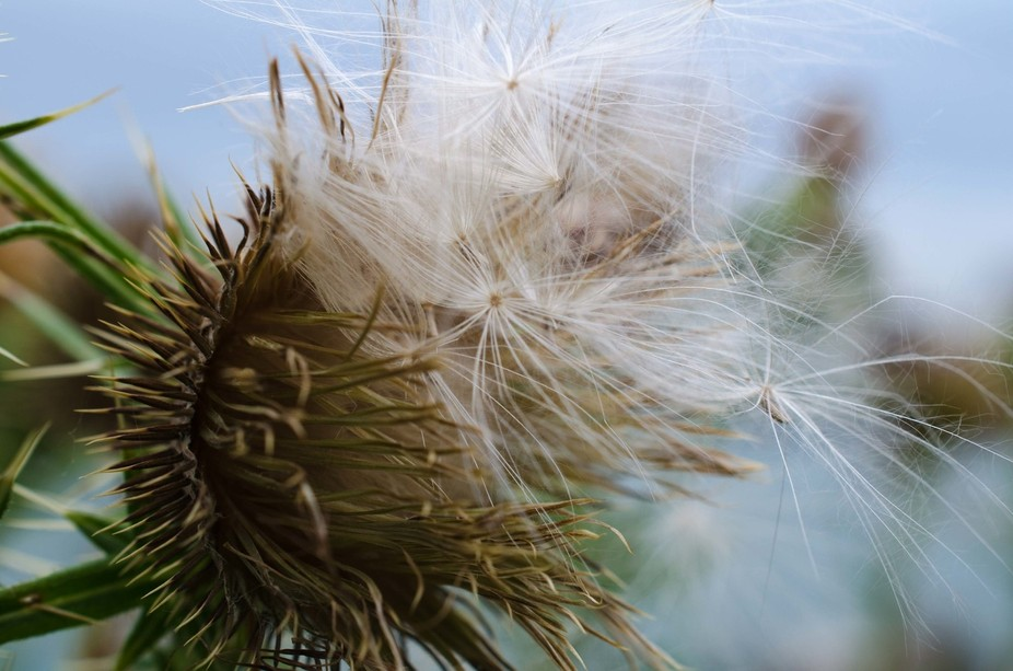 This is a weed just spreading its seeds on a beautiful Fall day.